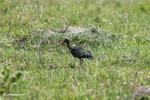 Green Ibis (Mesembrinibis cayennensis) [colombia_5018]
