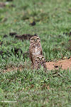 Burrowing Owl (Athene cunicularia) [colombia_5020]