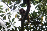 Red howler monkey [colombia_5022]