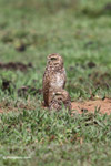 Burrowing Owl (Athene cunicularia) [colombia_5036]