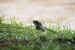 Green iguana [colombia_5040]