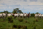 Cattle [colombia_5048]