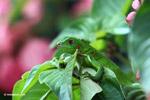 Common green iguana [colombia_5089]
