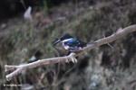 Green Kingfisher (Chloroceryle americana) [colombia_5094]