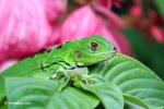 Common green iguana [colombia_5110]