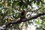 Red howler monkey [colombia_5134]