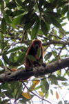 Red howler monkey [colombia_5137]
