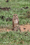 Burrowing Owl (Athene cunicularia) [colombia_5155]