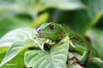 Common green iguana [colombia_5162]