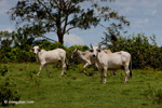 Cattle [colombia_5180]