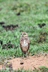 Burrowing Owl (Athene cunicularia) [colombia_5192]