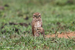 Burrowing Owl (Athene cunicularia) [colombia_5215]
