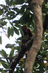 Red howler monkey [colombia_5229]
