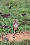 Burrowing Owl (Athene cunicularia) [colombia_5264]
