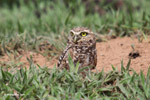 Burrowing Owl (Athene cunicularia) [colombia_5320]