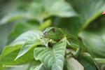 Common green iguana [colombia_5347]