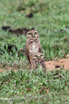 Burrowing Owl (Athene cunicularia) [colombia_5401]