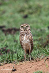 Burrowing Owl (Athene cunicularia) [colombia_5404]