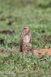 Burrowing Owl (Athene cunicularia) [colombia_5440]