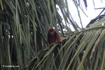 Red howler monkey [colombia_5450]