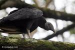 Black vulture [colombia_5480]