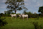 Cattle [colombia_5485]