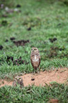 Burrowing Owl (Athene cunicularia) [colombia_5496]