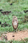 Burrowing Owl (Athene cunicularia) [colombia_5497]