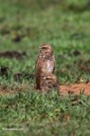 Burrowing Owl (Athene cunicularia) [colombia_5550]