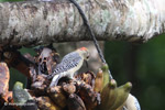 Melanerpes Woodpecker [colombia_5560]