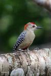 Melanerpes Woodpecker