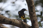 Yellow-rumped cacique [colombia_5588]