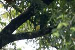 Vermilion-crowned Flycatcher (Myiozetetes similis)