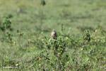 Aplomado falcon [colombia_5605]