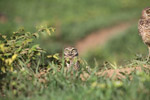 Burrowing Owl (Athene cunicularia) [colombia_5620]
