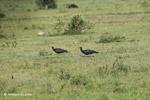 Orinoco Geese (Neochen jubata) [colombia_5635]