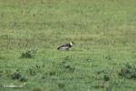 Buff-necked Ibis (Theristicus caudatus) [colombia_5656]