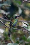 Green-tailed Jacamar (Galbula galbula) [colombia_5679]