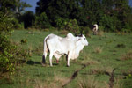 Cattle [colombia_5682]