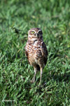 Burrowing Owl (Athene cunicularia) [colombia_5686]