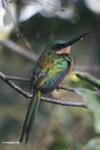 Green-tailed Jacamar (Galbula galbula) [colombia_5693]