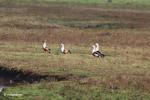 Orinoco Geese (Neochen jubata)