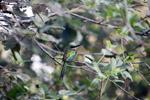Green-tailed Jacamar (Galbula galbula) [colombia_5744]