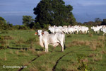 Cattle [colombia_5745]