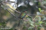 Green-tailed Jacamar [colombia_5792]
