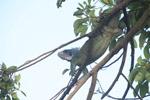 Common green iguana [colombia_5820]
