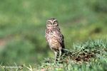 Burrowing Owl (Athene cunicularia) [colombia_5825]
