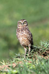 Burrowing Owl (Athene cunicularia) [colombia_5827]