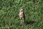 Burrowing Owl (Athene cunicularia) [colombia_5847]