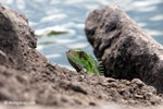 Common green iguana [colombia_5862]